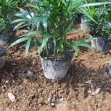 50公分高散尾葵多少钱一棵  散尾葵种植