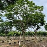 凤凰木 凤凰树 基地报价 绿化工程苗