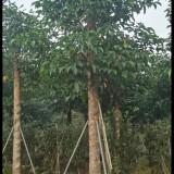 秋枫 秋枫树苗 基地销售 绿化工程苗 重阳木