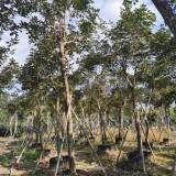 黄花风铃木 风铃木树苗 基地销售 绿化工程苗