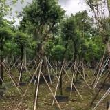 红千层 串钱柳树苗 基地销售 绿化工程苗