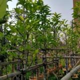 白玉兰袋苗 白玉兰树苗 基地销售 绿化工程苗 玉兰树
