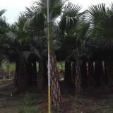 蒲葵 蒲葵树 基地销售 绿化工程苗