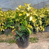 黄金榕 黄金榕树苗 基地销售 绿化工程苗