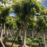 富贵榕 花叶高山榕树 基地销售 绿化工程苗