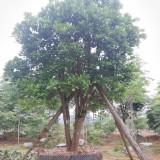 柚子果树 柚子树 基地销售 绿化工程苗