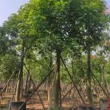 澳洲火焰木 基地销售 绿化工程苗