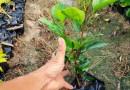榕树桩景地径12-180公分,价格1000