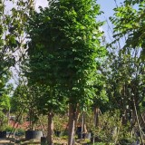 火焰木 火焰树苗 基地销售 绿化工程苗