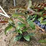 红背桂小苗高20公分基地直销  红背桂小苗种植 前景