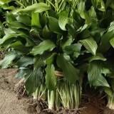 30公分青玉簪哪里有卖  江苏青玉簪种植基地