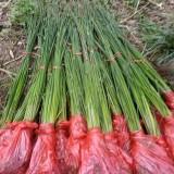 水葱杯苗哪里有卖  基地批发15公分水葱工程苗