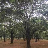 12公分板栗树多少钱 江苏15公分板栗树价格