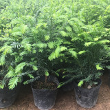沭阳哪里有红豆杉 江苏红豆杉工程苗供应