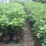 红豆杉小苗多少钱一颗 1米红豆杉市场价