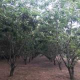 板栗树苗多少钱一棵 5公分6公分板栗树价格