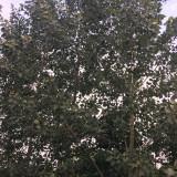沭阳5公分加拿大红叶杨批发 8公分加拿大红叶杨多少钱
