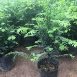 1米高红豆杉小苗价格 基地红豆杉小苗报价