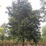 北美枫香树价格 10公分北美枫香树批发