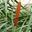 高10公分香蒲价格 香蒲水生植物供应