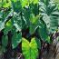 高20公分紫芋哪里有售  江苏紫芋种植基地