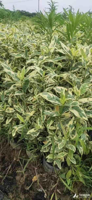 江苏花叶栀子多少钱一棵   花叶栀子种植