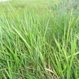 糖蜜草多年生绿化护坡固土防沙草种观赏草坪种子