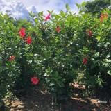 朱槿容器苗 扶桑容器苗 朱槿种植基地