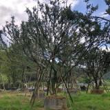 朴树移植苗