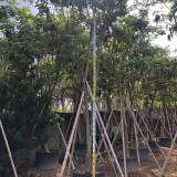 黄花风铃木移植苗