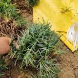 日本矮麦冬价格 玉龙草价格多少钱一斤