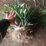 金边阔叶麦冬价格多少钱一斤 高25公分阔叶麦冬价格