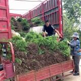 黄刺梅小苗价格 江苏黄刺梅种植基地