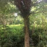 5公分皂角苗价格 5公分皂角树哪里有卖的
