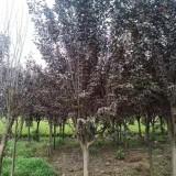 8公分红叶李市场价格 江苏红叶李树苗繁育基地