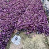 紫叶酢浆草哪里有卖?紫叶酢浆草盆栽小杯苗基地直供
