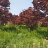 12公分日本红枫哪里有卖  江苏日本红枫批发供应