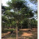 福建 哪里有凤凰木基地 出售 凤凰木价格多少钱