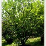 福建 哪里有 柚子树 基地 出售 价格 多少钱