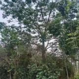 15公分苦楝树价格 苦楝树价格多少钱一棵
