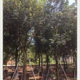 福建 哪里有 黄花风铃木 基地 出售 价格 多少钱
