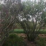 丛生丁香树苗价格 1米丛生丁香多少钱一棵