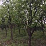 柿子树价格  地径14公分柿子树基地批发