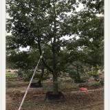 福建 哪里有 全冠美人树 美丽异木棉 基地 出售 价格 多少钱