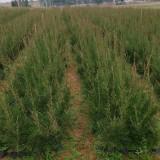 80公分木麻黄哪里有卖   木麻黄基地批发价格