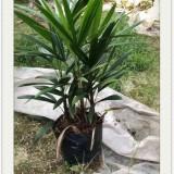 棕竹哪里有卖?福建棕竹多少钱一棵?