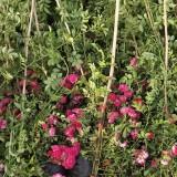 大红花蔷薇价格 大红花蔷薇多少钱一棵
