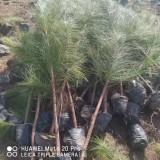 1米3湿地松基地直供 信阳湿地松价格