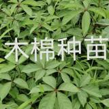 木棉种苗哪里有卖  福建木棉种苗供应基地