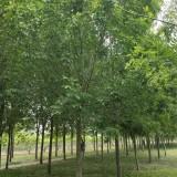 梓树价格  梓树多少钱一棵